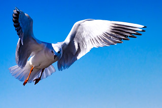 Black-headed Gull Flying : 飛翔するユリカモメ