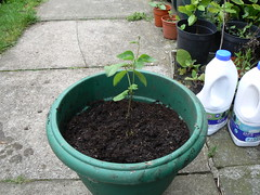 Runner bean in pot