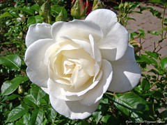 """""""weisse Rosen aus"""" .....Hoogvliet (dietmut) Tags: flowers rose rotterdam nederland thenetherlands roos bloemen sonycybershot zuidholland hoogvliet 2011 meimay zalmplaat sonydsct200 dietmut witwhiteweiss yourfavorites47"""