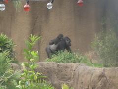 Gorillas at Los Angeles Zoo