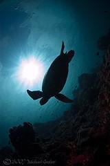 trtl9952pcw (gerb) Tags: ocean blue sea sun topf25 beautiful silhouette topv111 rock 1025fav 510fav wow cool nice topv333 underwater turtle awesome topv1111 topv999 scuba fv5 loveit pi wildanimal fv10 sunburst topv777 d100 thumbsup sipadan dreamcatcher hawksbillturtle aquatica naturesfinest 105mmf28gfisheye sipadanphotoweek pfo 3waychallenge 3wc tvx mywinners abigfave 3w5 superbmasterpiece tu5 photofaceoffwinner pfogold
