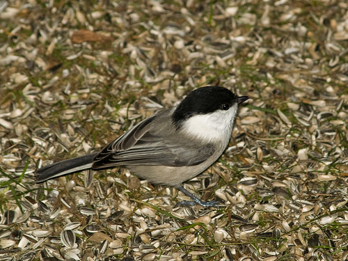 Pictures of Willow tit (Poecile montana) on ground