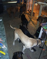 Searching For Treats (muslovedogs) Tags: puppy treats mastiff rottweiler sage playtime excalibur canecorso mastweiler