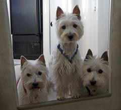 "Three West Highland White ""Terrorists"" or Wild Westies (jwfuqua-photography) Tags: dog westie terrier westhighlandwhiteterrier top20smalldogshots picturefantastic jwfuqua jwfuquaphotography"