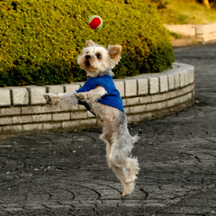 Heading shooooot!!! (shinichiro*) Tags: dog yorkie japan nikon order d200 crazyshin 2007 aroundhome 28300 nx supershot platinumphoto isawyoufirst lmaoanimalphotoaward dogsall exp38943views8faves2g 2009separt02 gettyhold order500