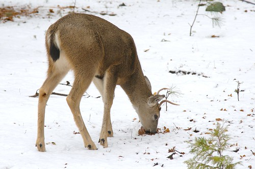 Yosemite N.P. - Mule Deer