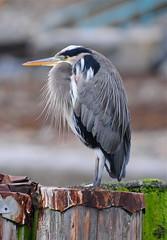 Heron at Davis Bay (_Gary_) Tags: naturesfinest blueribbonwinner specnature diamondclassphotographer