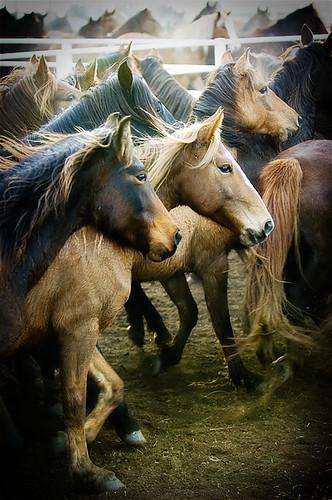 gathering mares 307