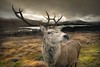 Hello Deer! (gms) Tags: wild scotland poser stag tourist deer antlers yet viewpoint tame glenorchy lochtulla