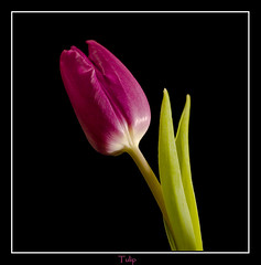tulip (carolejeffery) Tags: pink stilllife flower macro nature closeup studio purple tulip