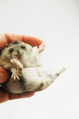 05. Oh no (EricFlickr) Tags: pet cute animal mint taiwan hamster herb hammy 倉鼠