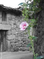 Águas Frias (Chaves) - Flor campestre (Mário Silva) Tags: portugal cutout chaves aldeia trásosmontes ilustrarportugal águasfrias