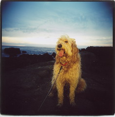 Millie the GoldenPoodle (Claire Marie Vogel) Tags: california blue sunset orange dog color 120 film beach animal tongue square golden claire holga mix rocks pretty flash retriever doodle shore poodle medium format laguna colorflash vogel goldendoodle thelittledoglaughed goldenpoodle