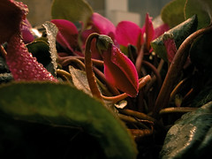 little shop of horrors (minded) Tags: pink flower green wet mouth waterdrop nest drop lips sensual fiori piante nido hydra bocca carnivore umido carnivoro ciclamino primulaceae minded labbra cyclamenpersicum santella maurosantella