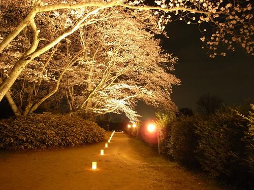 石舞台古墳(夜桜)-08