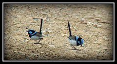 Superb Fairy-Wren (Harvey Schiller - chateauglenunga) Tags: birds photoshop superb little shy fairy telephoto tiny wetlands wren barker timid flighty laratinga moutn igotwofailygoodshotsoftheonebirdsoiclonedthescondshotontothefirst