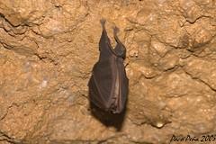 Murciélago (Paco Peña) Tags: bat chauvesouris murciélago fledermaus 蝙蝠 バット 박쥐 прилеп خفاش šišmiš битой