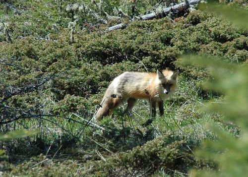 Alert fox