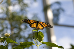 Monarch Butterfly @ Carleton