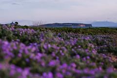 IMG_0624 (trnk28 [mk-II]) Tags: canon canon6d eos6d 50mm sea sardinia sardegna landscape nature color purple macchiamediterranea mediterrano mediterranean