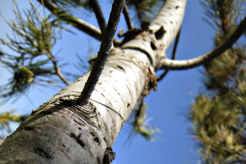 july0109_tree3