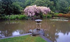 Wisteria (Peter Schnurman) Tags: seattle japanesegarden washington spring unitedstates wisteria japaneselantern reflectingpond arboreteum