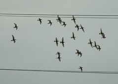 23 Black-tailed Godwits (pursued by a Sparrowhawk)