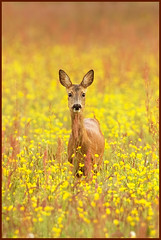 Buttercup Beauty (hvhe1) Tags: flowers wild holland nature animal bravo buttercup wildlife nederland thenetherlands meadow doe deer wei roe roedeer sorrel ree naturesfinest boterbloemen tonden zuring wildebloemen specanimal hvhe1 hennievanheerden reegeit