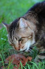 Stalking (Just George 2) Tags: portrait cat feline chat dof bokeh tabby kitty greeneyes gato kitteh bobby katze gatto gs kedi matou eartufts canoneos5dmarkii tuftedears canonef100mmf28lmacroisusm