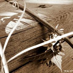 serendipity (J redwinter photography) Tags: wood light shadow flower nature leaf flora natural grain vine curly serendipity sephia juliajohnson redwinter copyrightallrightsreserved diamondclassphotographer flickrdiamond