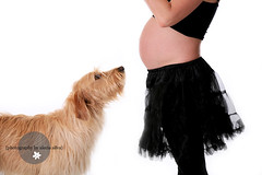 Big Brother (the portrait place {alecia silva}) Tags: dog studio pregnancy pregnant explore belly maternity bigbrother labradoodle firstborn theportraitplace