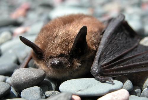 brown_bat.jpg