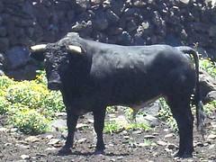 Toro de ganadería Teófilo Gómez