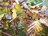 Late Berries (madriverrose) Tags: cassidy patricia bestnaturetnc06