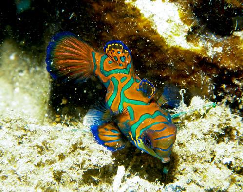 麒麟魚@帛琉