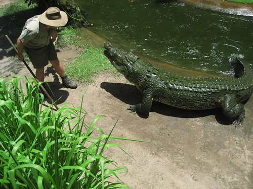 Feeding time for Sarge the crocodile