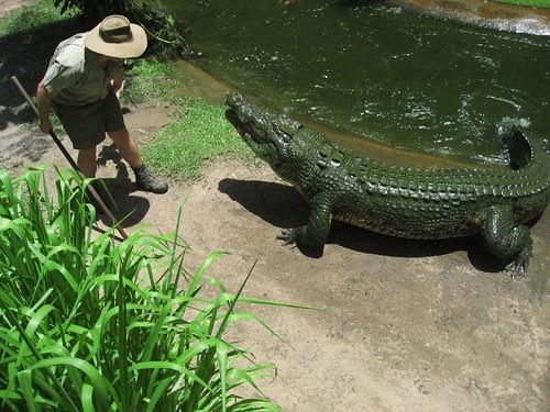 Feeding time for Sarge the crocodile