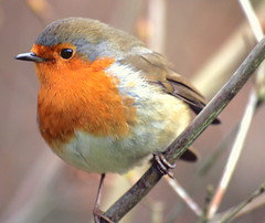 A very late...or Early Christmas Robin..:O) (law_keven) Tags: france bird robin birds brittany feathers brest soe avian feathery robinredbreast naturesfinest featheryfriday impressedbeauty diamondclassphotographer flickrdiamond theunforgettablepictures theperfectphotographer goldstaraward