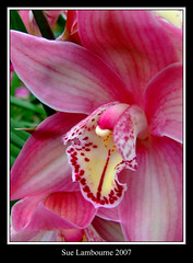 Orchid (susie 1) Tags: pink orchid flower nature beautiful pretty bloom lovely novideo naturesfinest 10faves goldenmix impressedbeauty superbmasterpiece diamondclassphotographer flickrdiamond citrit brillianteyejewel wonderfulworldmix thatsbostin goldstaraward treeofhonor ilovemypicsmorgasbord