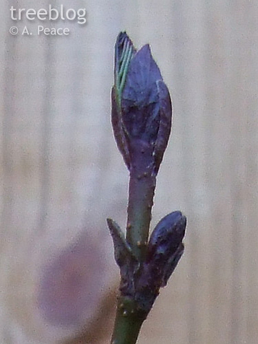 close view of grey alder Number 4's terminal bud