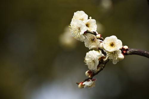 Winter sakuras...