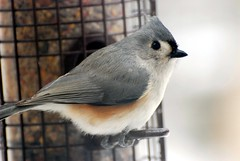 Tufted Titmouse (blmiers2) Tags: newyork cute bird nature beautiful birds geotagged photo nikon photos wildlife gray birdfeeder uccelli views faves titmouse potrait avian smallbirds tuftedtitmouse wildbirds baeolophusbicolor passeriformes backyardbirds paridae birdphoto titmousebird ttcu titmousephotos tuftedtitmousephotos tuftedtitmousephoto cotcbestof2008 tuftedtitmousephotographs titmousephoto blm18 blmiers2