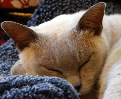Snoozy Mousse (Murfomurf) Tags: old sleeping summer cat furry ancient pretty lilac adelaide 2008 burmese windcheater snoozy moustiers murfomurf bestofcats boc0803