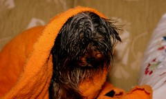 Not a happy Toby