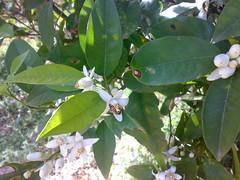 أزهار ليمون (salamPics) Tags: ورد طبيعة أزهار بيتي