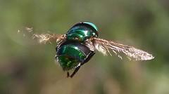 Ornidia obesa (Sergio Cavinato) Tags: verde animal de do natureza mosquito inseto da asa carne berne mosca voar biru vo voando varejeira hominis honorio bicalho beronha dermatobia bicheira dermatobiahominis honoriobicalho cavinatosergio