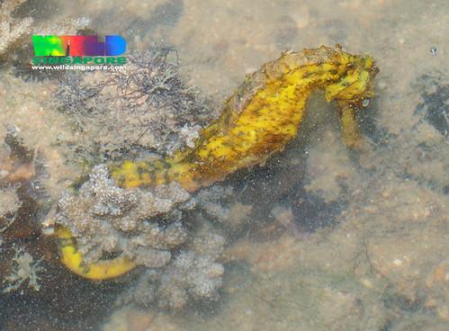 Seahorse (Hippocampus sp.)