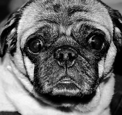 Sadie (she who is) Tags: bw dog calgary sadie alberta expressiveface perfectpug anniesgirl fotocompetition fotocompetitionbronze