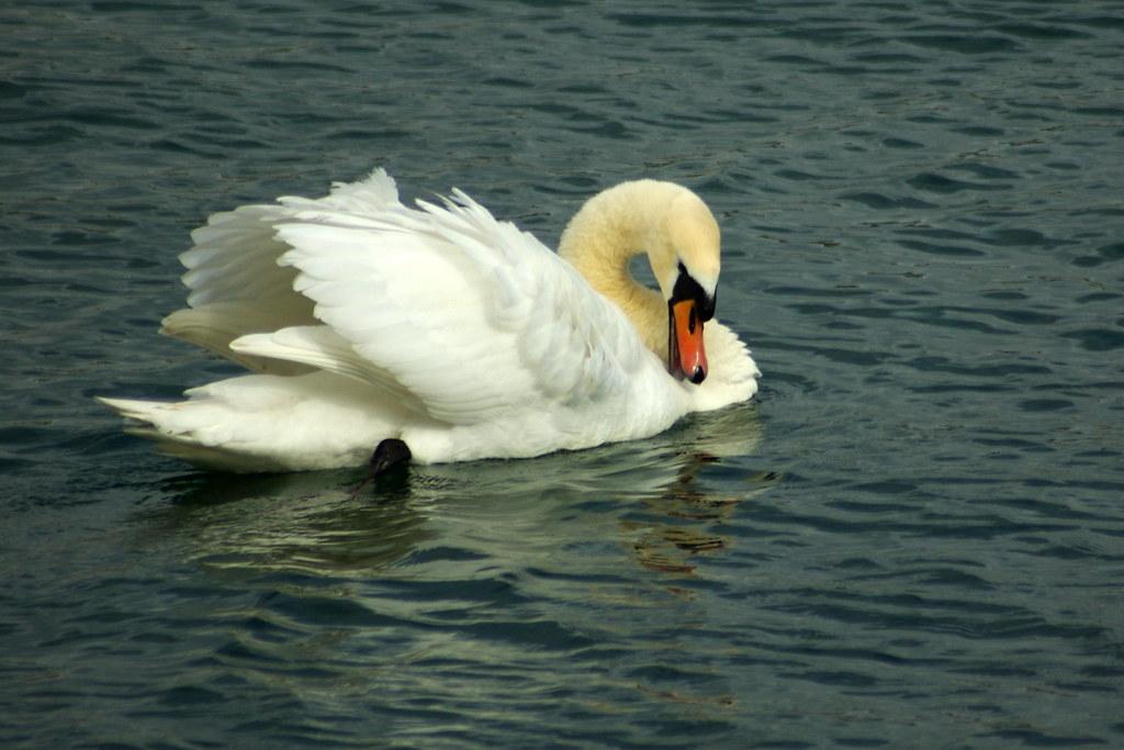 Cisne-mudo (Cygnus olor)