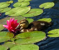 Curiousity (Carl Neufelder) Tags: wild bird garden botanical duck pond colorado waterlily wildlife duckling denver mallard babyduck